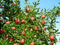 Pommes et pommier Verger Lamarche
