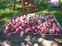 VergerLamarche_caisse_pommes