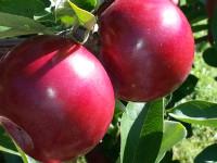 VergerLamarche_pommes